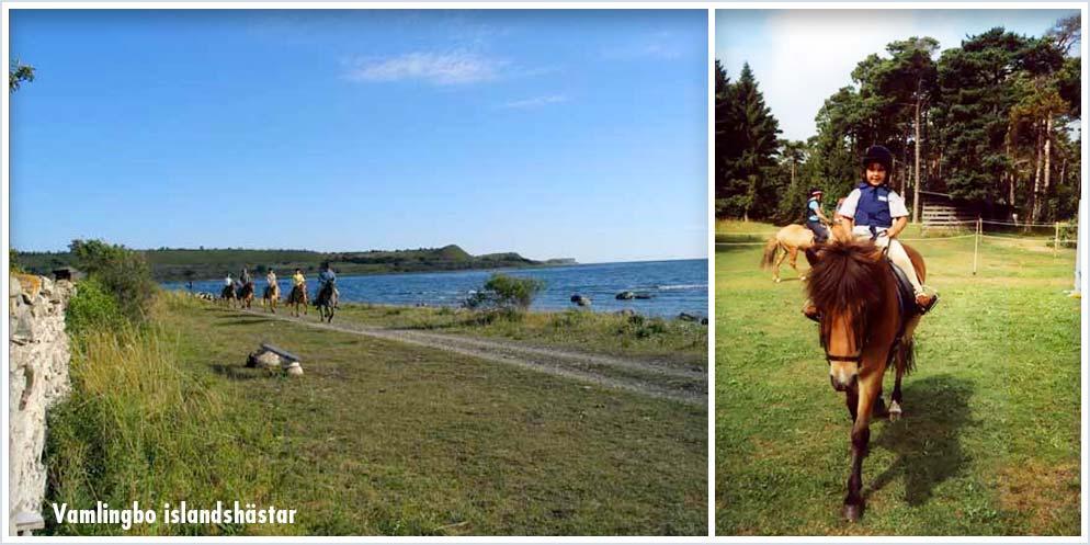 Islandshästar Gotland