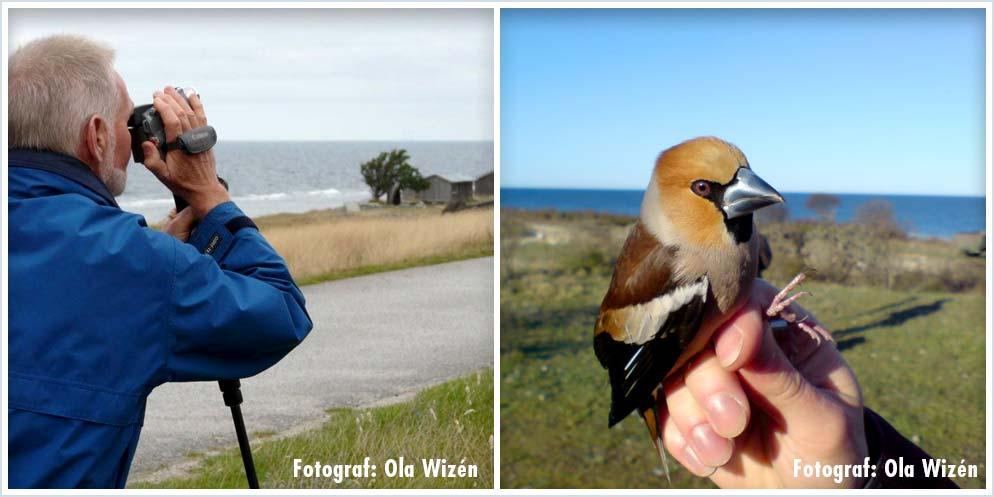 Fågelskådning Gotland